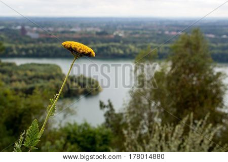 close of a bloom with lake on the background.  Picture taken in nature park Connecterra, Maasmechelen, Belgium