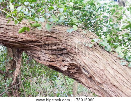 Some brown tree bark with green leaves in the summer sun