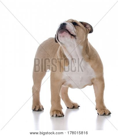 cute bulldog puppy looking up on white background