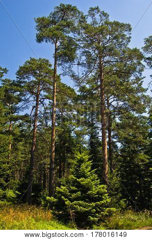 Small fir in front of large pine trees at Divcibare mountain, west Serbia