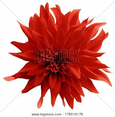 Red flower. isolated on the white background with clipping path. Close-up. Shaggy yellow flower dahlia. Nature.