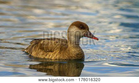 Red-crested female pochard duck, netta rufina, portrait