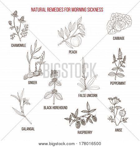 Best herbal remedies for morning sickness. Hand drawn vector set of medicinal plants