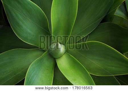 Attractive sprouts of agave the Azores Portugal