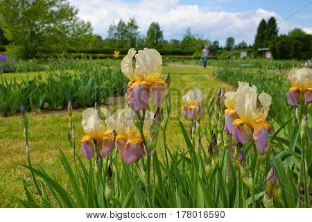 Iris (Iris L.) flowers in garden. spring