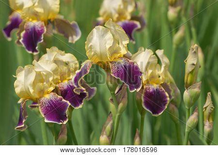 Iris Genial, Flower (iris Hybrida)
