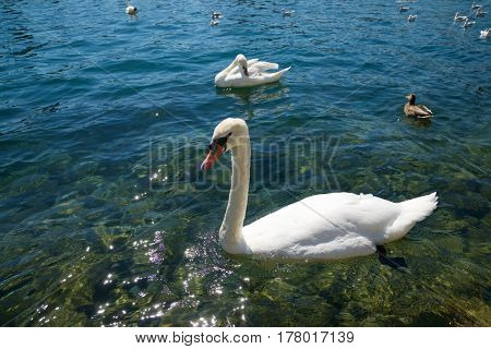 Ducks and swans on a lake, Switzerland.