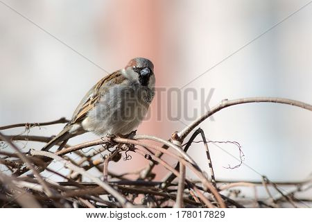 Portrait of a sparrow on dry branches closeup