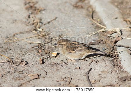 The sparrow eats a piece of bread