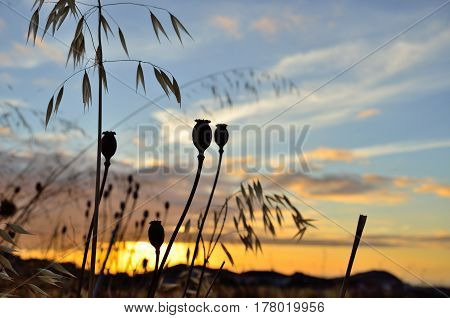 Poppy seed pods and oats plants at sunrise