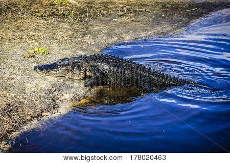 Myakka River, Florida, USA - November 29: Alligator climbing out of the Myakka River, Florida