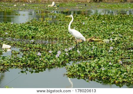 Great white egret on the backwaters near Alleppey India