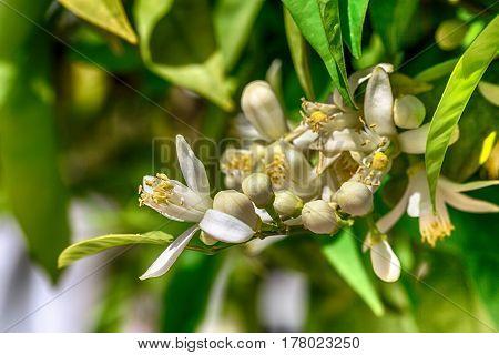 Blooming branch of an orange tree. Flowers of an orange tree. Macro.