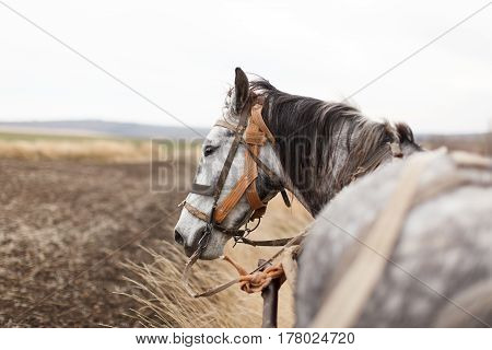 A horse in apples with a cart is in the field looking away profile. Daylight horizontal image.