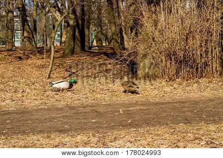 Spring. A duck is a mallard man and a woman strolling in a clearing.