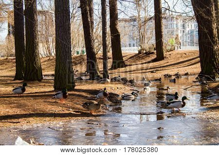 St. Petersburg-03.24.2017: ducks feeding in thawed patches after melted snow in a pine forest