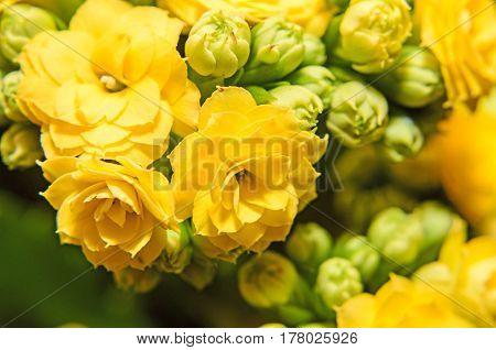 Yellow Calandiva Flowers Kalanchoe, Family Crassulaceae, Close Up,  Bokeh Background.