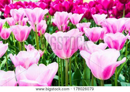 Blooming pink tulips in lawn selective focus in Keukenhof park in Netherlands Europe