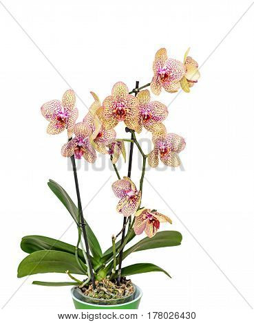 Yellow With Red Spots Orchid Close Up Branch Flowers, Green Flowerpot Isolated On White Background