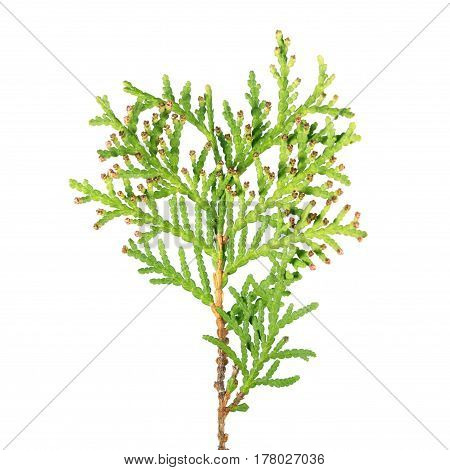 Branch of arborvitae (Thuja occidentalis) with male cone isolated on white background. Underside