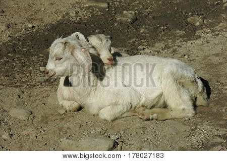 White baby goats relaxing together. Best friends.