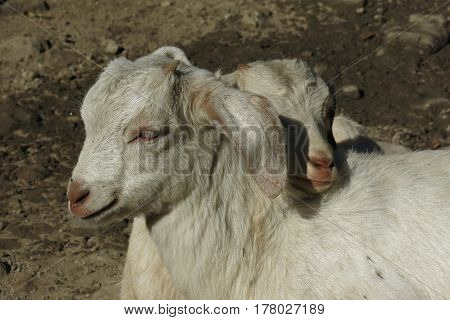 Two white baby goats snuggled up together.