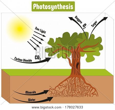 Photosynthesis Process in Plant Diagram with all factors and outputs including sun light carbon dioxide minerals water oxygen sugar for biology science education poster