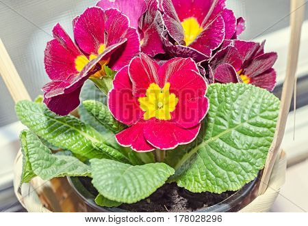 Primula Obconica Touch Me, Dark Red With Yellow Flowers, Green Leaves, Close Up Basket
