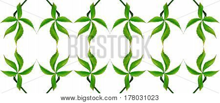 Green Grapes Leaf. Natural Seamless Background.