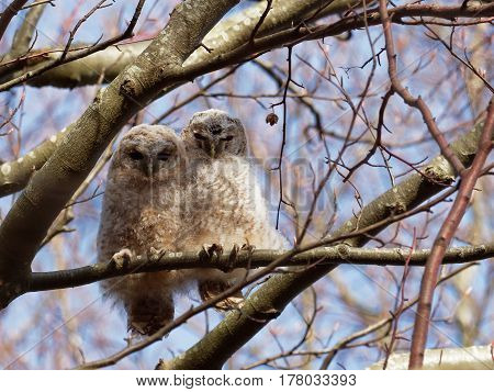 Two Young Tawny Owls on a branch ( Strix Aluco  )