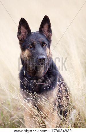 Dog German Shepherd sit in field portrait