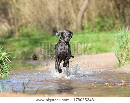 Weimaraner dog play and running in water poster