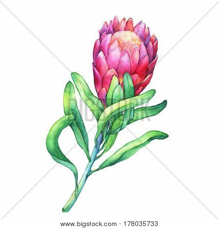 Tropical flower Protea with green leaves.  Hand drawn watercolor painting on white background.