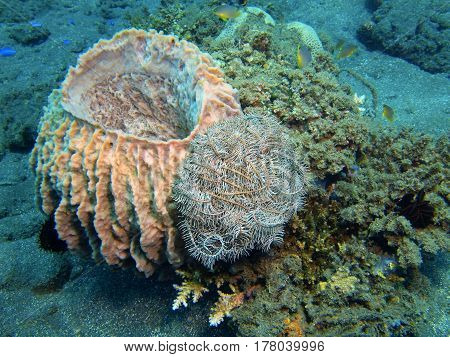 The surprising underwater world of the Bali basin, Island Bali, Lovina reef, demosponge
