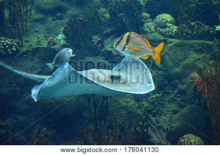 Stingray swimming with fish along a coral reef.