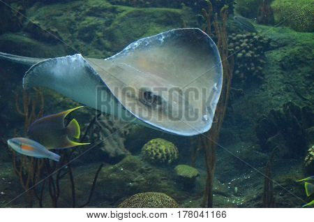 Stingray underwater moving along the ocean floor in the tropical warm waters.