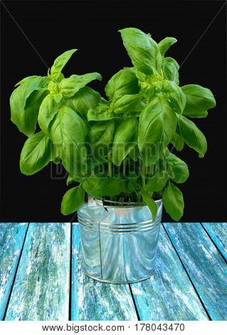 Green fresh basil in metal bucket on turquoise table