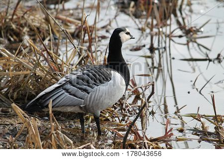 Barnacle goose (Branta leucopsis) in the reed on the shore of the lake
