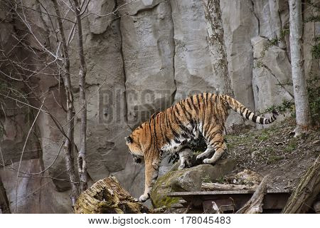 Siberian tiger or Amur tiger Panthera tigris altaica walking over rocks