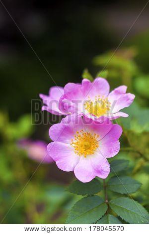 Flower of pink dog-rose closeup on garden background