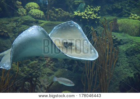 Stingray waving it's pectoral fins while swimming along a coral reef.