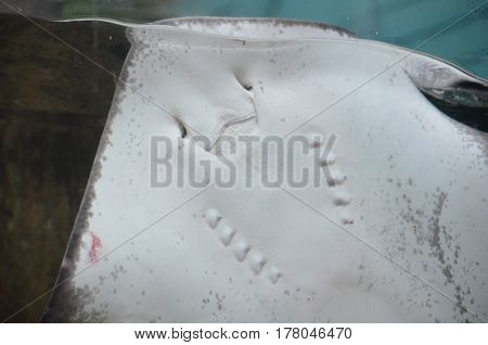 White belly of a stingray pressed up to the glass on tank.