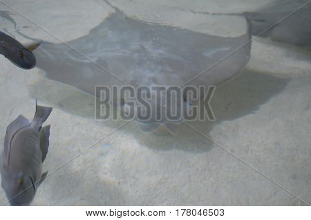 Solid gray stingray gliding along the sand on the ocean floor.