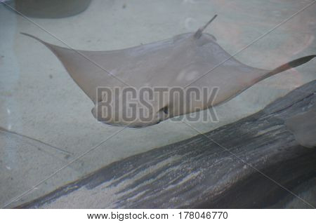 Stingray swimming along the ocean floor beside a piece of wood.