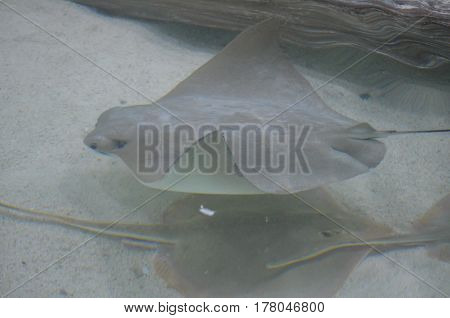 Group of three stingrays sitting on the floor of the ocean.