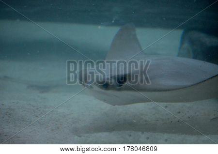 Amazing gray stingray on the sandy ocean floor.