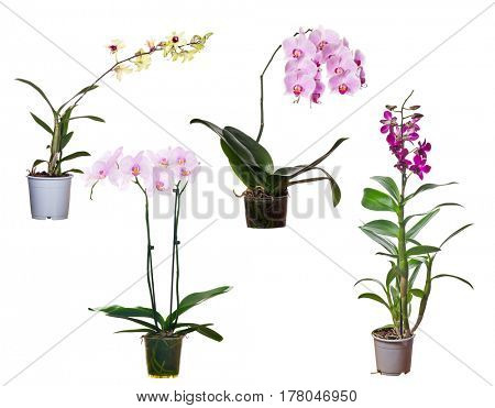 set of orchid flowers in pot isolated on white background