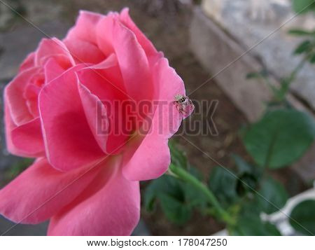 Rose and spider on the ruins of the ancient city of Side