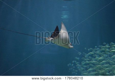 Stingray moving through the water toward a school of fish.