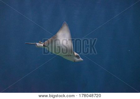 Stingray silently moving along underwater in the deep blue sea.